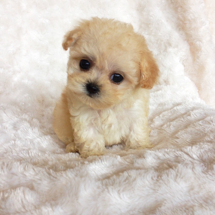 Best Teacup Maltipoo Breeders Top List