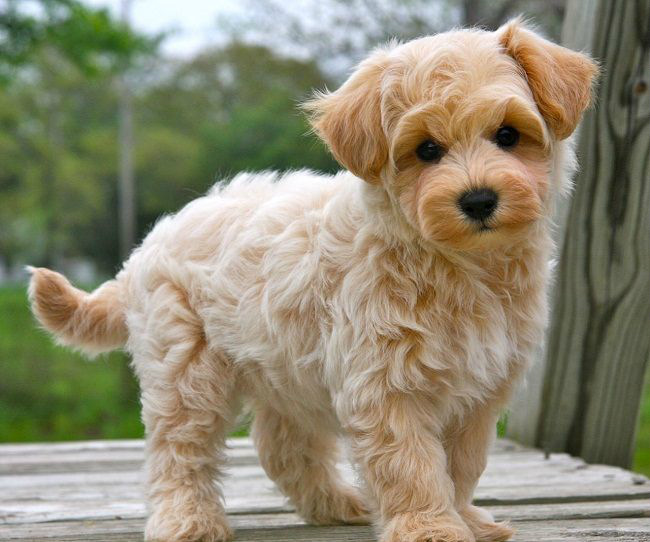 Apricot Maltipoo Puppies Instead Of