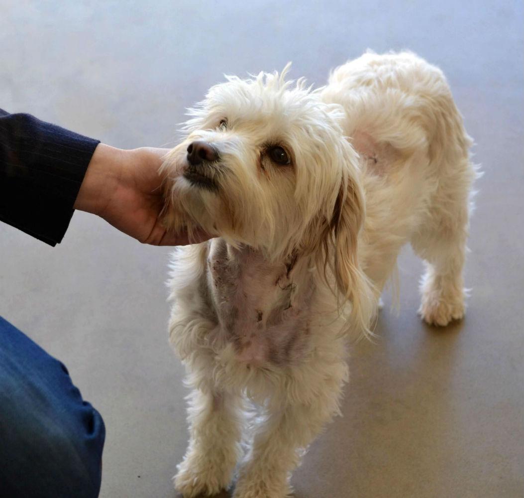 How To Train A Maltipoo Puppy To Stop Biting Teacupmaltipoo Com